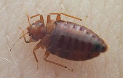 250px-Bedbug004.jpg